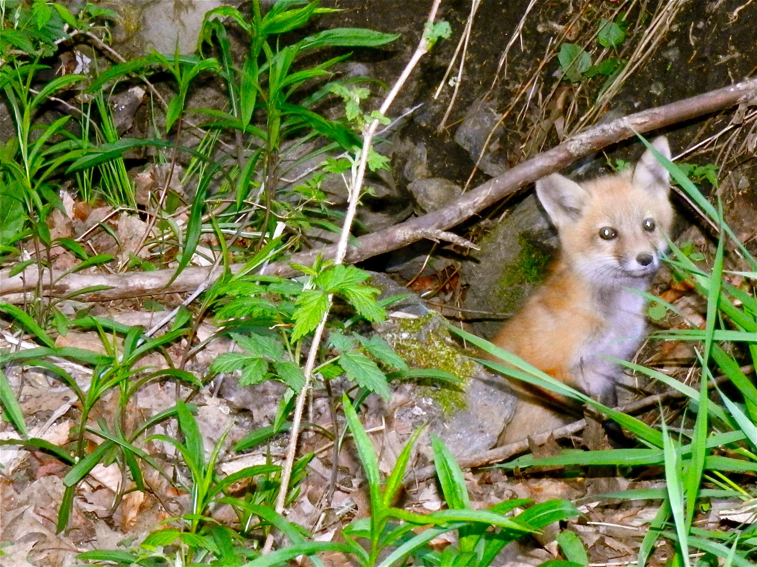 Springtime Foxes